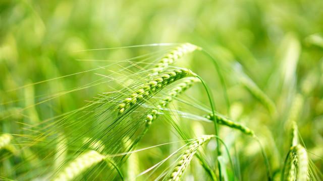 聖書の中の麦と毒麦との区別は何か